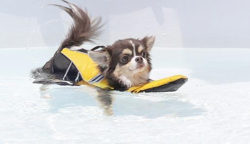 【チワワ】プールに挑戦!