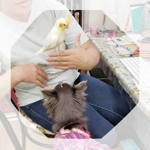 【チワワとオカメインコ】チワワが、鳥さんを食っちゃうんじゃないかと心配な出来事