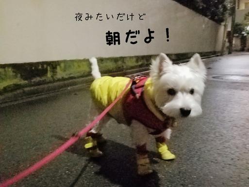 【チワワ&ウエスティ】朝のお散歩