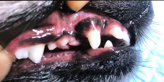【妹がやってきた】ルイ君、歯医者でうっかりやられる の巻