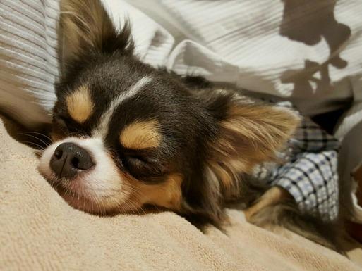 【ワンコと旅行】寝る寝る寝る