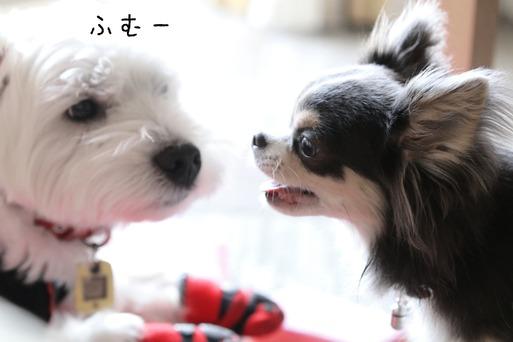 【ウエスティ&チワワ】日常風景 その②