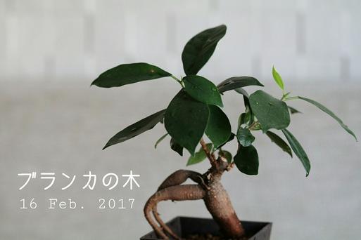 ブランカの木
