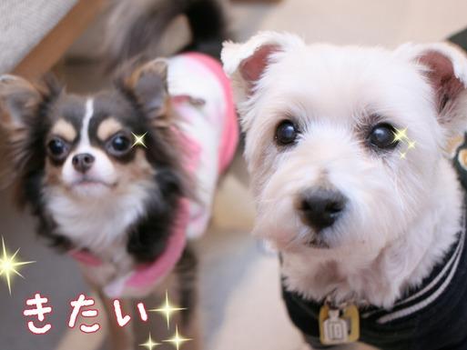 狩猟犬ウエスティ・ブランカVS愛玩犬・チワワのマリー