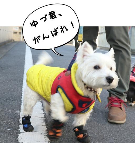 【ウエスティ】ゆきちなりの、オリンピック応援!!
