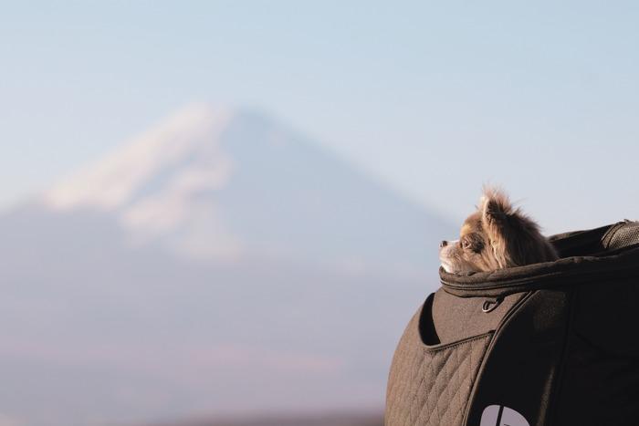 【チワワ】チワワと富士山