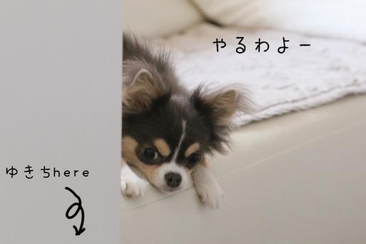 【チワワ&ウエスティ】日常の風景 その③