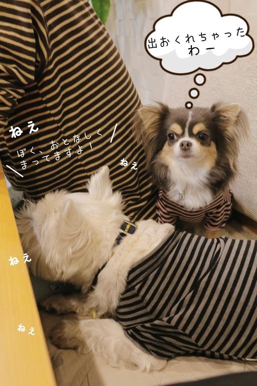 【犬】チワワが戦いに負けた敗因は・・・ と、3シマシマ