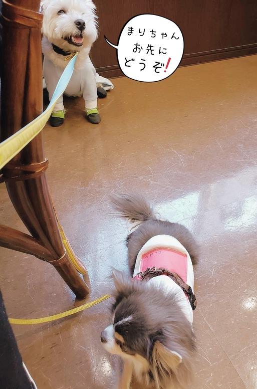【チワワ&ウエスティ】定期 無麻酔歯石除去!の日