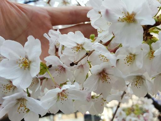 【犬】桜をみにいったけれど・・・