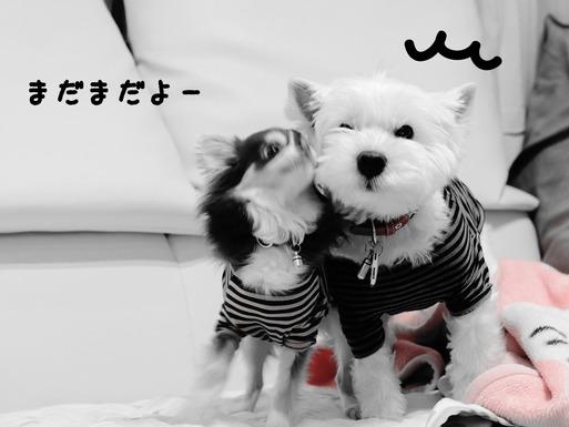 【ウエスティ&チワワ】