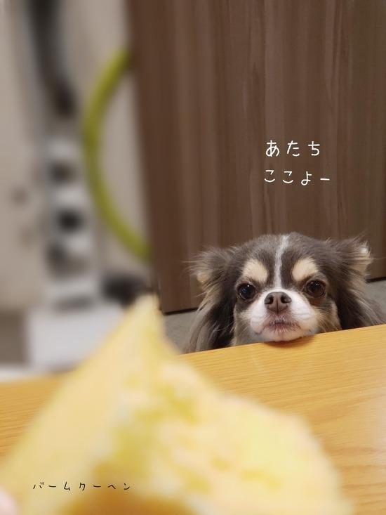 【チワワ】働いた働いた!!