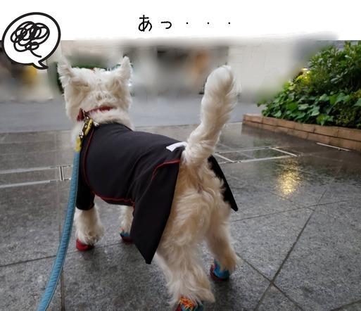 【ウエスティ】朝のお散歩に行くぞ~~。だったんだけどね。