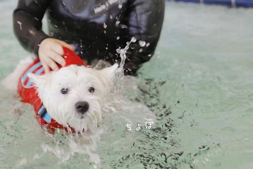 【ウエスティ】ドッグフィットネスプールを体験してみた。
