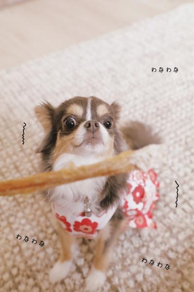 【チワワ】アキレス腱がほしい犬