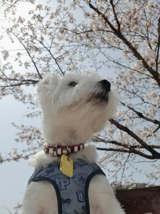 【犬旅】ゆきちの日記 桜を見にきたよ