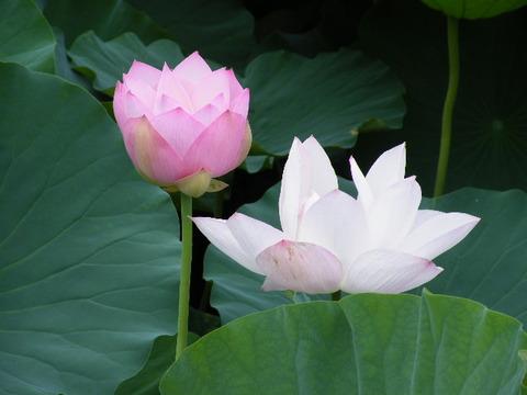 蓮の花2010 011