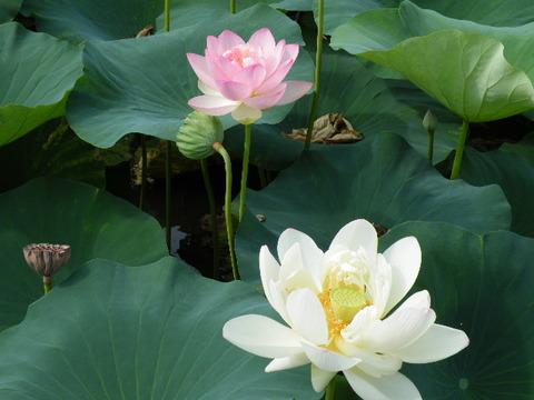 蓮の花2010 002