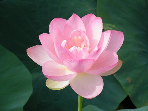 蓮の花2010 003