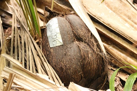 登録番号が付いている双子椰子