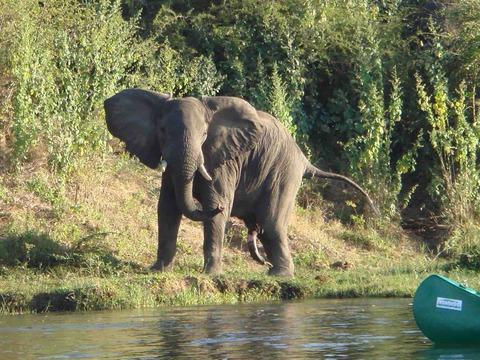 ザンベジ川のゾウ