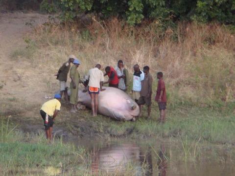 ザンベジ川(ジンバブウェ)でカバの間引き