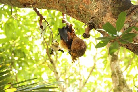 公園にてジャックフルーツを食べるコウモリ