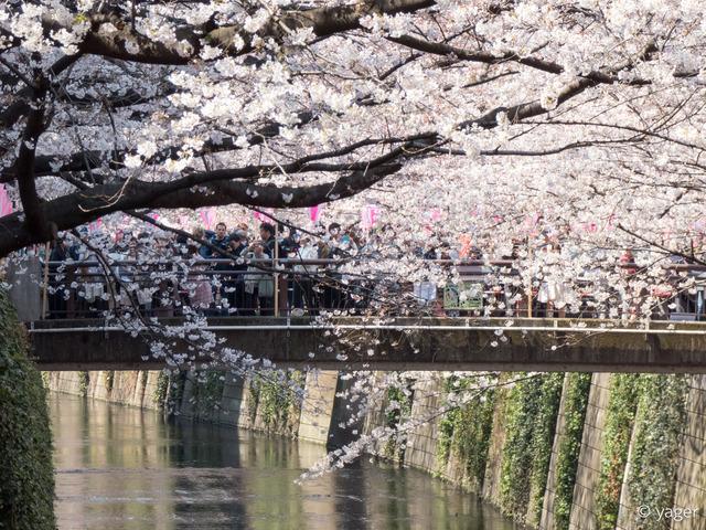 2017-04-04_桜_FZ85_目黒川-00003