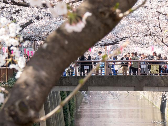 2017-04-04_桜_FZ85_目黒川-00011