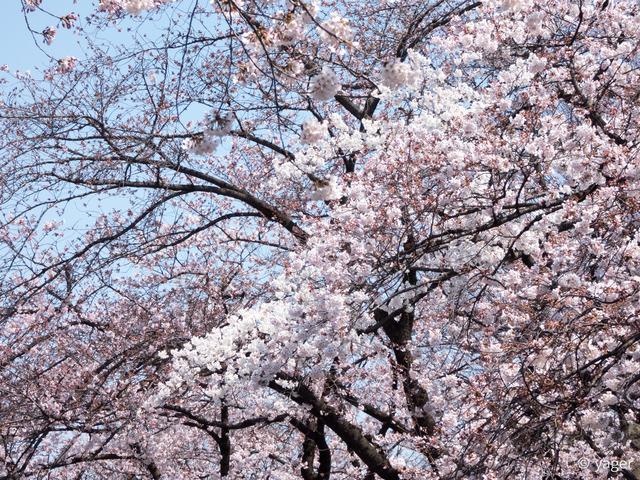 2017-04-04_桜_FZ85_上野公園-00007
