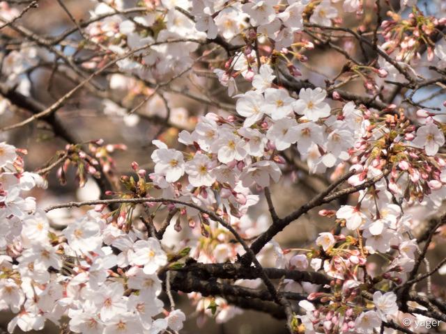 2017-04-04_桜_FZ85_靖国神社千鳥ヶ淵-00003