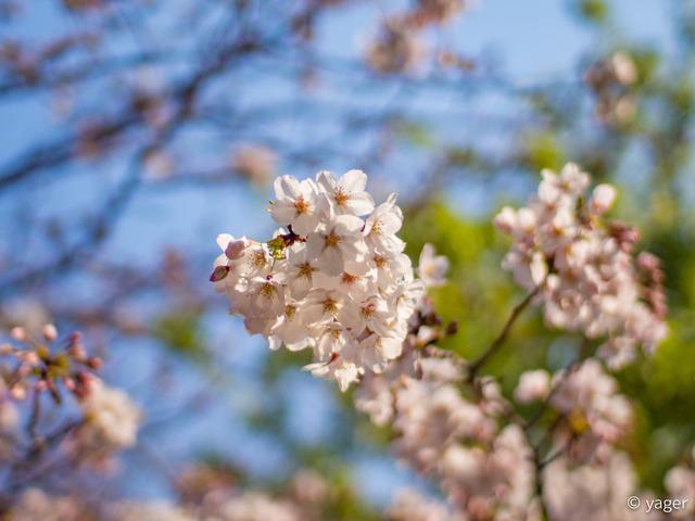 2017-04-04_桜_EM5_靖国神社千鳥ヶ淵-00002