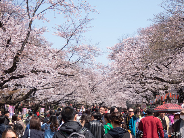 2017-04-04_桜_FZ85_上野公園-00005