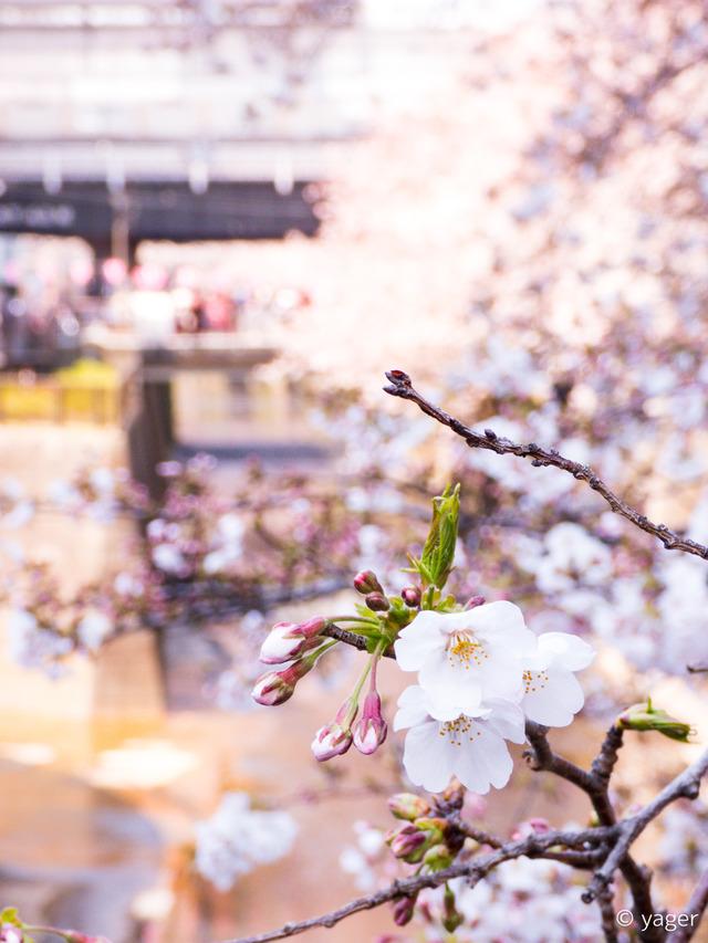 2017-04-04_桜_FZ85_目黒川-00001