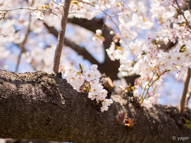 2017-04-04_桜_EM5_上野公園-00001