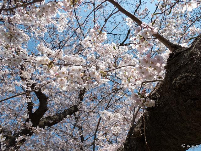 2017-04-04_桜_FZ85_上野公園-00010