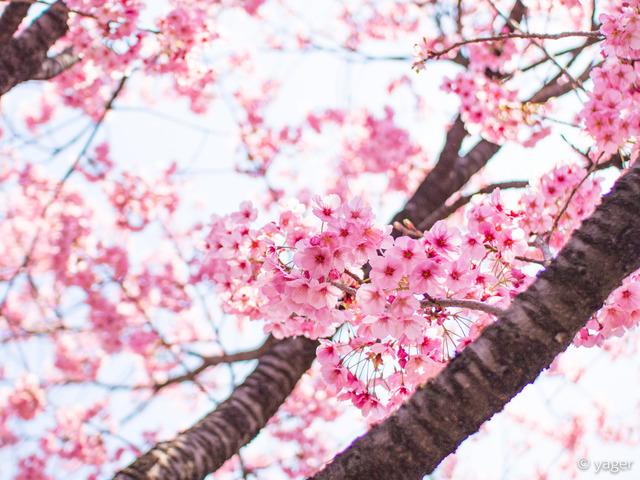 2017-04-04_桜_EM5_上野公園-00019