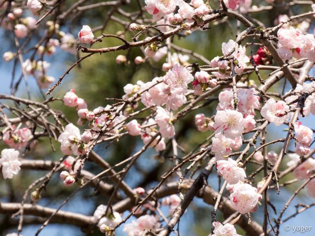2017-04-04_桜_FZ85_上野公園-00014