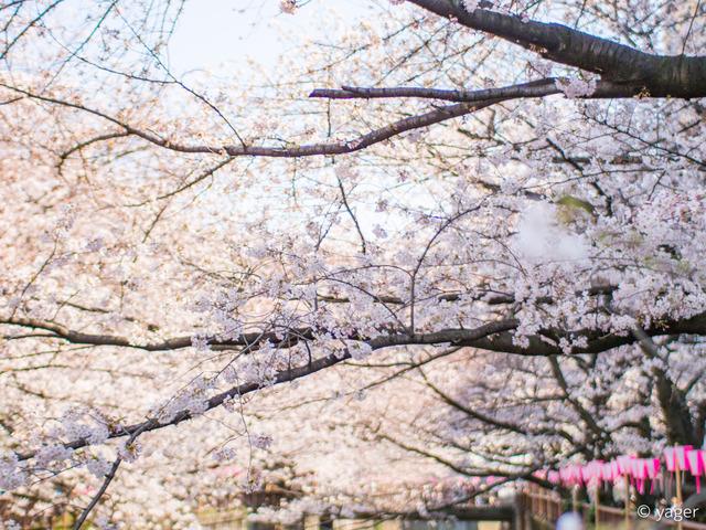 2017-04-04_桜_EM5_目黒川-00003