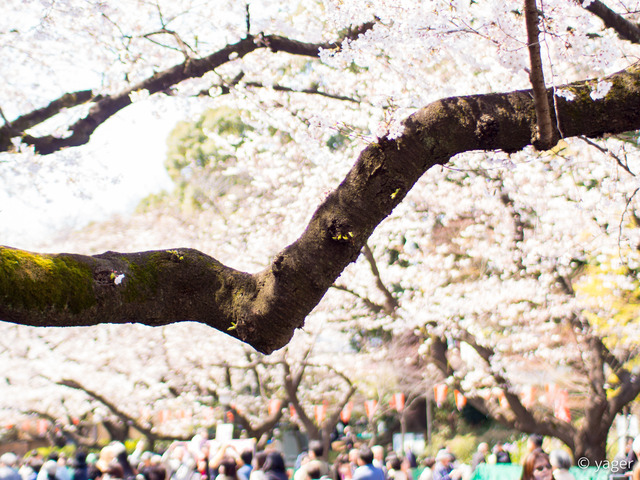 2017-04-04_桜_EM5_上野公園-00005