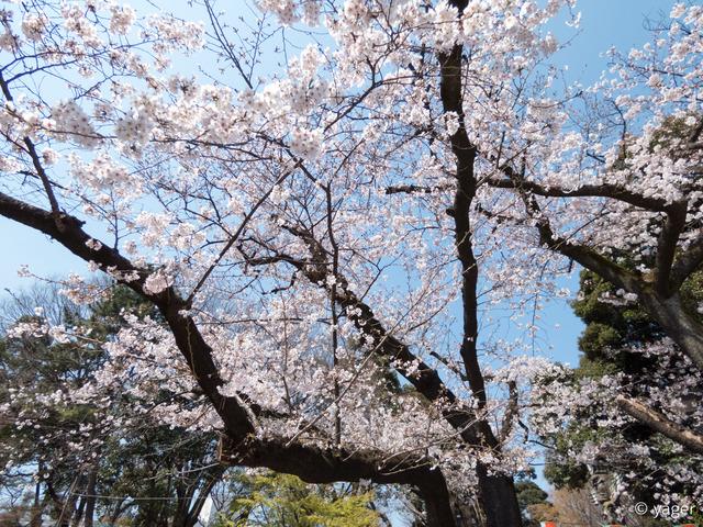 2017-04-04_桜_FZ85_上野公園-00006
