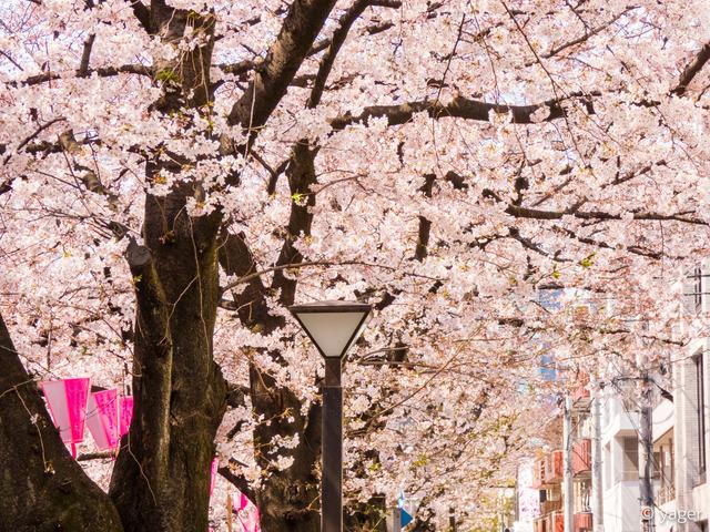 2017-04-04_桜_FZ85_目黒川-00007