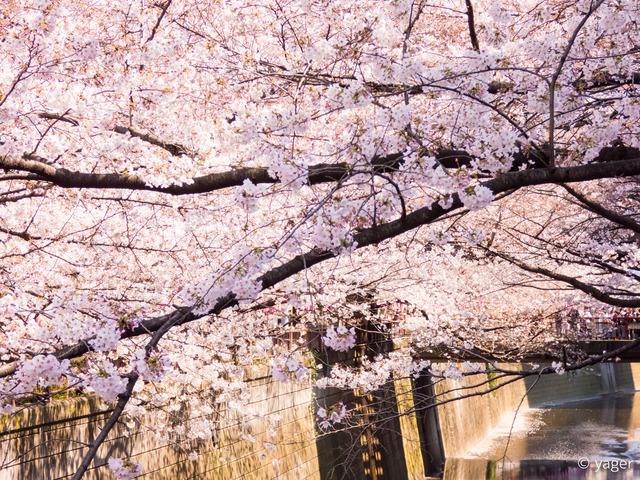 2017-04-04_桜_FZ85_目黒川-00010