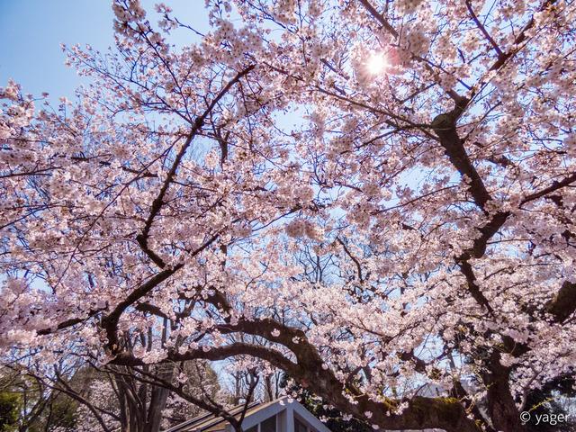 2017-04-04_桜_FZ85_上野公園-00012
