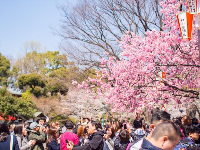 2017-04-04_桜_EM5_上野公園-00021