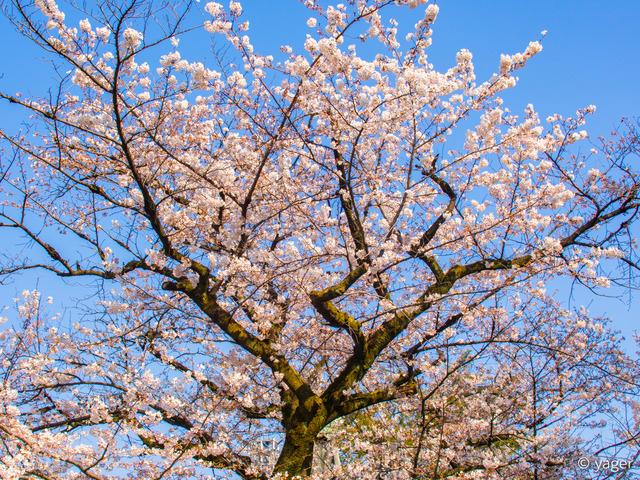 2017-04-04_桜_EM5_靖国神社千鳥ヶ淵-00005
