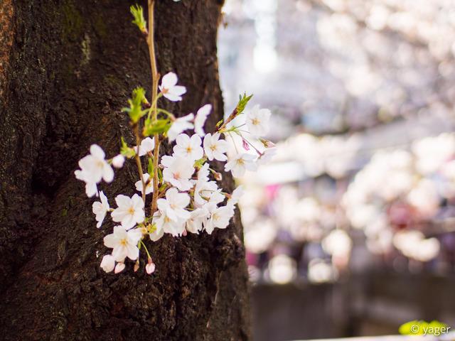 2017-04-04_桜_EM5_目黒川-00004