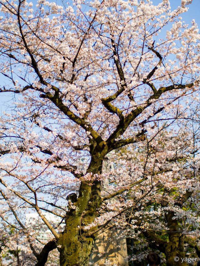 2017-04-04_桜_EM5_靖国神社千鳥ヶ淵-00004