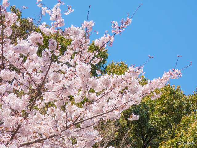 2017-04-04_桜_FZ85_上野公園-00002