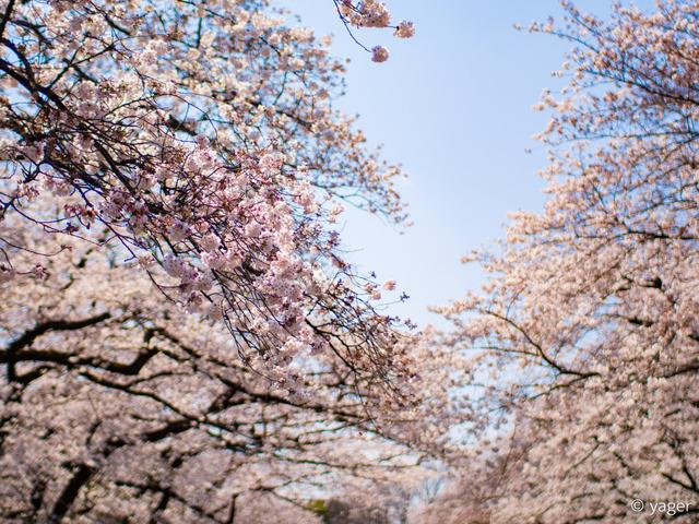 2017-04-04_桜_EM5_上野公園-00003